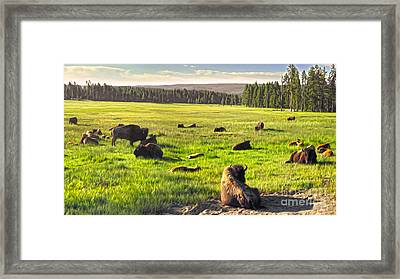 Bison Herd In Yellowstone Framed Print by Gregory Dyer