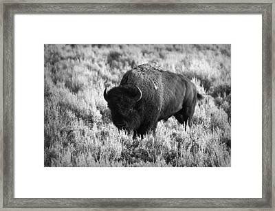 Bison In Black And White Framed Print by Sebastian Musial