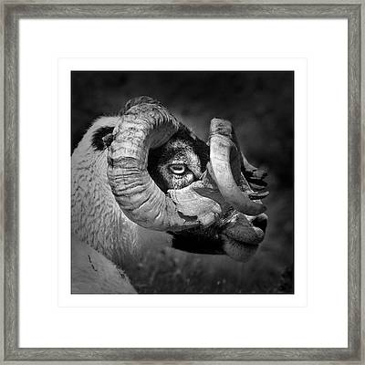 Black And White Image Of Ram Framed Print by Colin Campbell