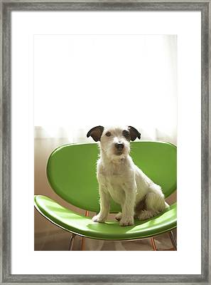 Black And White Terrier Dog Sitting On Green Chair By Window Framed Print by Chris Amaral