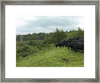 Black Angus Cattle Framed Print by Justin Guariglia