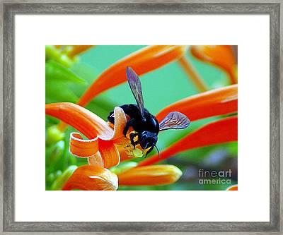 Black  Bumblebee  Framed Print by John  Kolenberg
