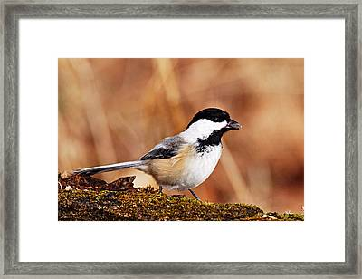 Black-capped Chickadee Framed Print by Larry Ricker