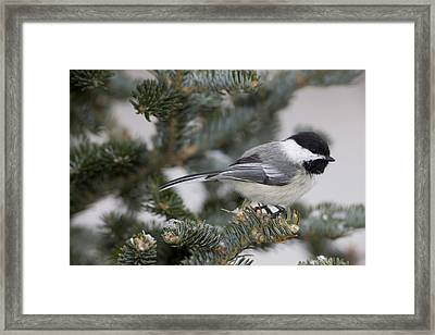 Black-capped Chickadee, Poecile Framed Print by John Cancalosi