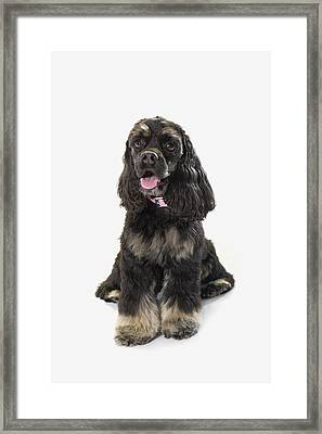 Black Cocker Spaniel With Golden Boots Framed Print by Corey Hochachka