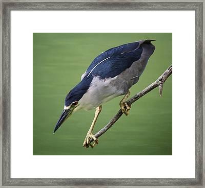 Black Crowned Night Heron Framed Print by Paulette Thomas