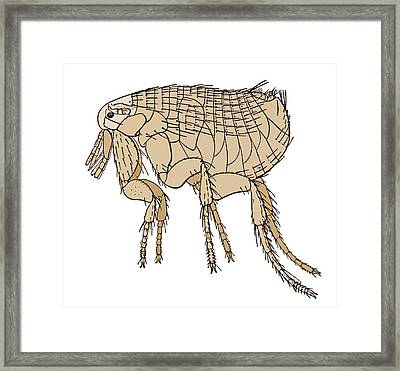 Black Death Rat Flea, Artwork Framed Print by Sheila Terry