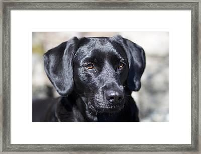 Black Dog Framed Print by Christina Reichl Photography