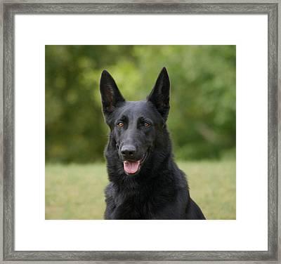 Black German Shepherd - Storm Framed Print by Sandy Keeton