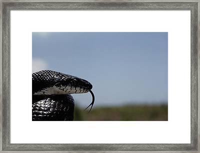 Black King Snake Lampropeltis Getulus Framed Print by Medford Taylor