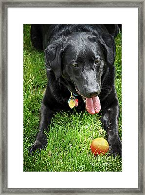Black Lab Dog With A Ball Framed Print by Elena Elisseeva