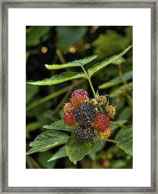 Black Raspberry Dream Framed Print by William Fields