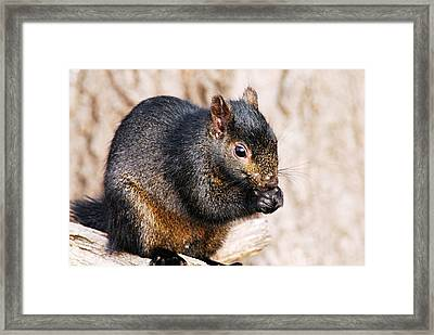 Black Squirrel Framed Print by Larry Ricker
