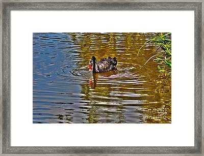 Black Swan On Pond Framed Print by Joanne Kocwin