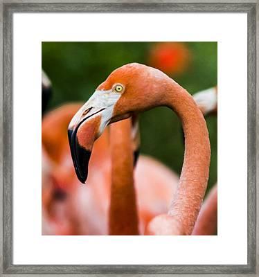 Black Tipped Beak Framed Print by Nicholas Evans