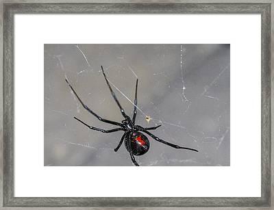 Black Widow Spider Framed Print by Scott McGuire