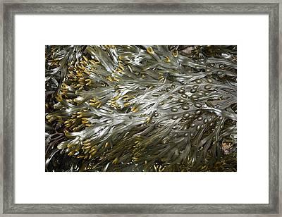 Bladder Wrack (fucus Vesiculosus) Framed Print by Dr Keith Wheeler