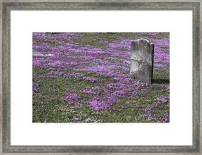 Blank Colonial Tombstone Amidst Graveyard Phlox Framed Print by John Stephens
