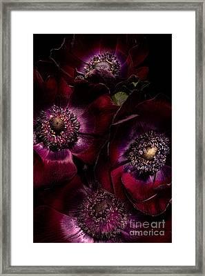 Blood Red Anemones Framed Print by Ann Garrett