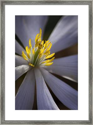 Bloodroot In Sunbeam Framed Print by Rob Travis