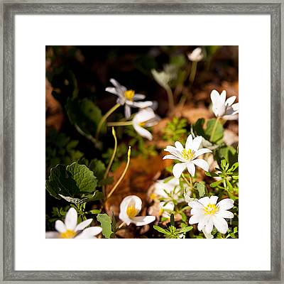 Bloodroot And Spring In The Woodland Framed Print by Lee Craig