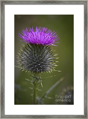 Blooming Thistle Framed Print by Clare Bambers