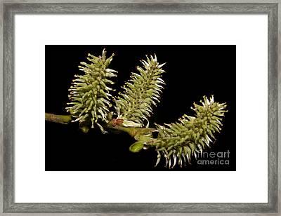 Blossom Framed Print by Torsten Dietrich