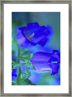 Blue Bell Flowers Framed Print by Kathy Yates