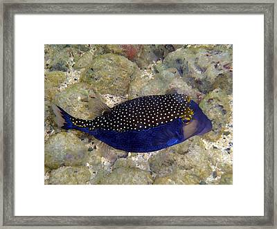 Blue Box Puffer Fish Framed Print by Tony and Kristi Middleton