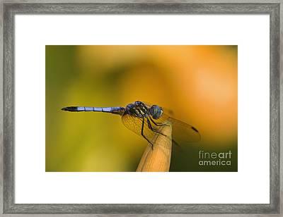 Blue Dasher - D007665 Framed Print by Daniel Dempster