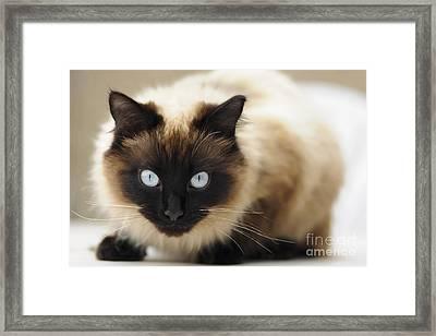 Blue Eyes Framed Print by Andrew  Michael