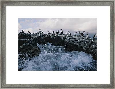 Blue-footed Boobies On A Rocky Framed Print by Annie Griffiths