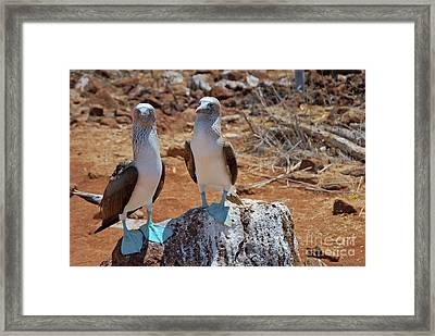Blue-footed Boobies On Rock  Framed Print by Sami Sarkis