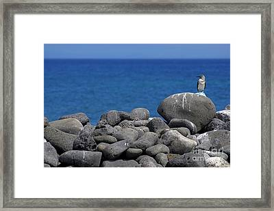 Blue-footed Booby On A Rock By Ocean Framed Print by Sami Sarkis