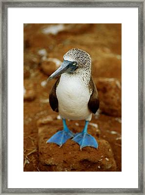 Blue-footed Booby Sula Nebouxii Framed Print by James P. Blair