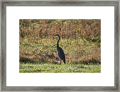 Blue Heron At Valley Forge Framed Print by Bill Cannon