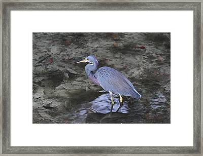 Blue Heron In Estero Bay Framed Print by Juergen Roth