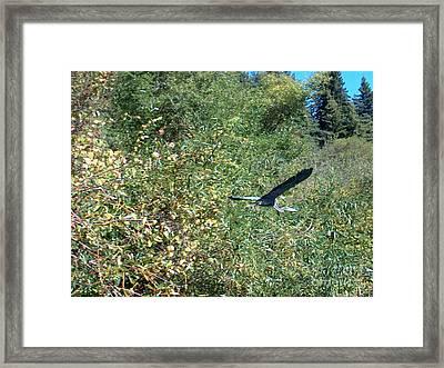 Blue Heron In Flight  Framed Print by The Kepharts