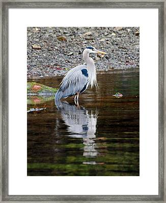 Blue Heron Framed Print by Jim Moore