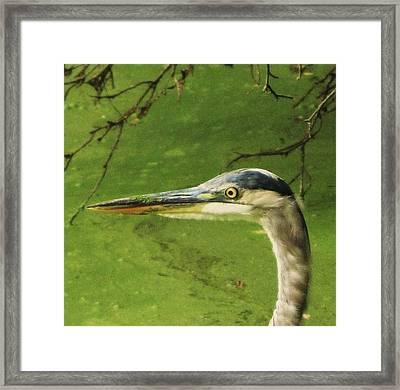 Blue Heron Framed Print by Todd Sherlock