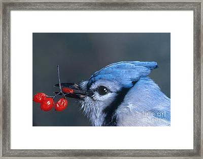 Blue Jay Framed Print by Photo Researchers, Inc.