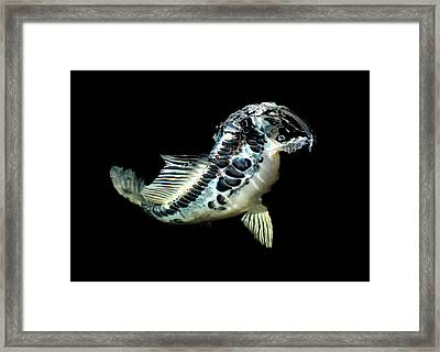 Blue Koi Taking Food Framed Print by Don Mann