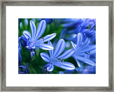 Blue Lily Of The Nile Framed Print by Sabrina L Ryan