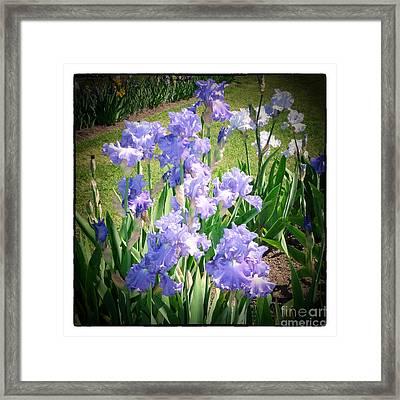 Blue Ruffles 2 Framed Print by Susan  Lipschutz