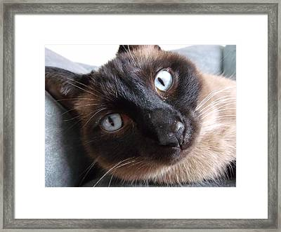 Blue Siamese Eyes Framed Print by Brian  Maloney