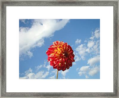 Blue Sky Nature Art Prinst Red Dahlia Flower Framed Print by Baslee Troutman