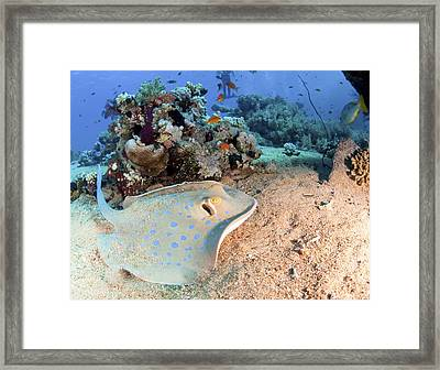 Blue-spotted Stingray Framed Print by Photostock-israel
