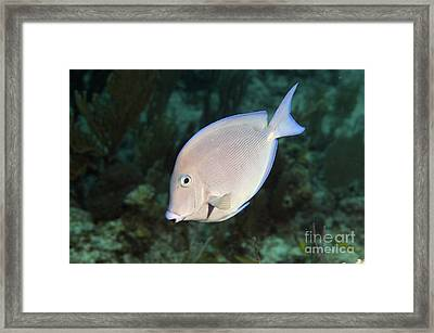Blue Tang On Caribbean Reef Framed Print by Karen Doody