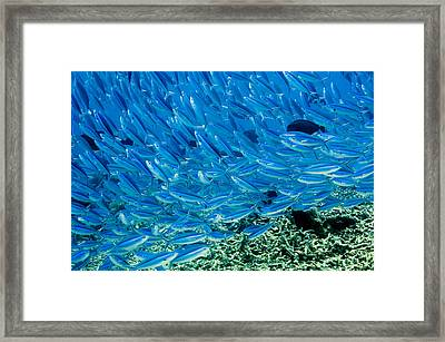 Bluestreak Fusilier Framed Print by Georgette Douwma
