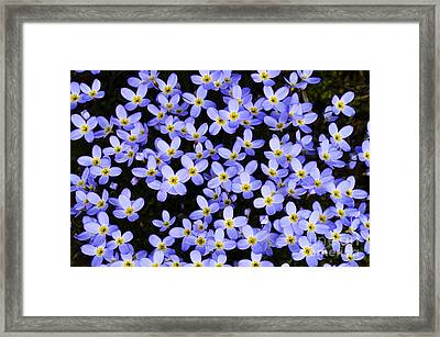 Bluets In Shade Framed Print by Thomas R Fletcher